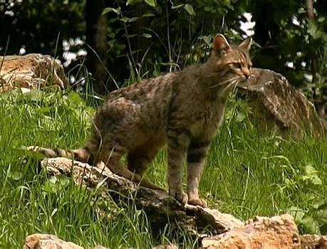 Fotografato Il Gatto Selvatico Sui Monti Del Sole Gdo Notizie